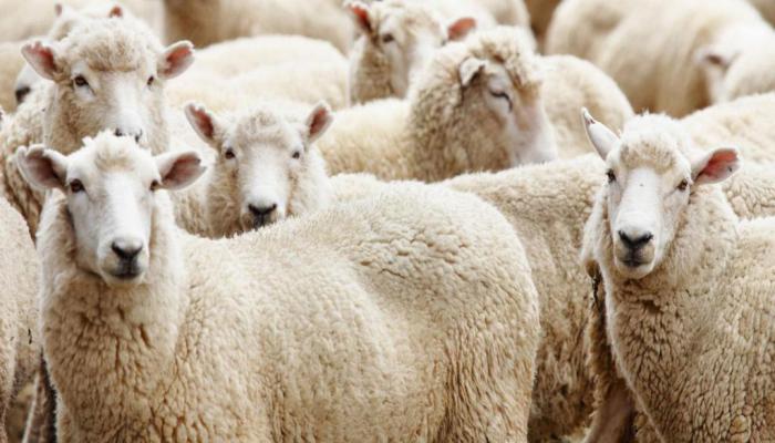 Kurbanlık hayvan baskül fiyatları belirlendi