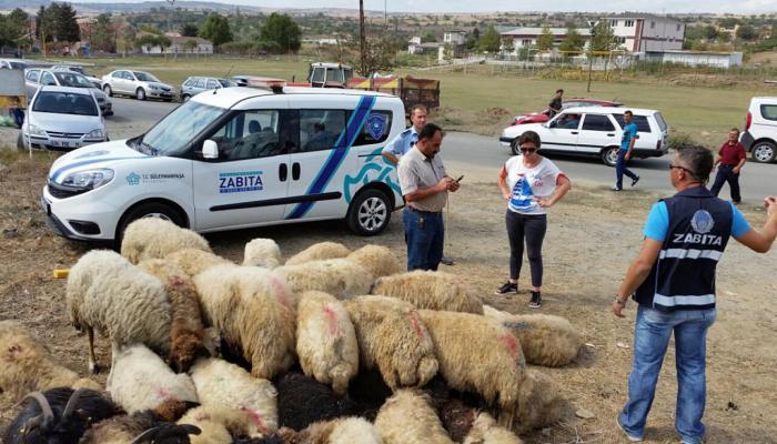 """Kaçak kurbanlıklara Süleymanpaşa Belediyesi Zabıtası Ekipleri """"Dur"""" dedi"""